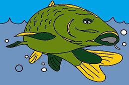 Ryba karp